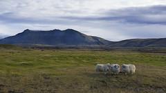 an Icelandic trio living the high life ... (lunaryuna) Tags: iceland landscape panoramicviews solitude domesticanimals rams sheep woolythings trio beauty lunaryuna