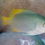 Scaly Damsel, subadult - Pomacentrus lepidogenys thumbnail