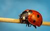 7-Spot Ladybird (snomanda) Tags: coccinella septempunctata 7spot ladybird ladybug insect invertebrate macro closeup animal nature wildlife entomology ecology bug beetle