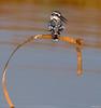 Pied kingfisher (Mohsan Raza Ali Baloch) Tags: mohsan raza ali mohsans islamabad pakistan