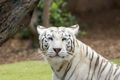 White Tiger #2