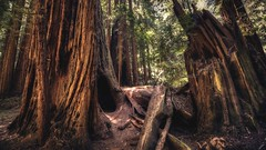 DSC_5205H_1 (Ramiro Marquez) Tags: muirwoods redwood tree trees forest nature california woodland