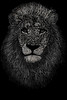 lionwords black n whit (Girly Genista) Tags: lion animal wild typo typography designer creative photoshop bw design art artist artistic lions forest animals fluffy words letters black white creativity