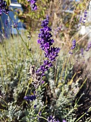 Lavendel lavender lavanda lavande espliego lawenda  levandule (eagle1effi) Tags: lavendel herma dach flower herbst autumn lavender lavanda lavande espliego lawenda levandule blume