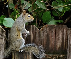 Sometimes you just have to sit back and enjoy (ACEZandEIGHTZ) Tags: nikon d3200 closeup squirrel fence sitting laidback relaxation coth eastern gray carolinensis sciurus coth5 sunrays5