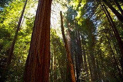 Home in the Redwoods (KC Mike Day) Tags: redwood california norcal tall growth woods johnmuir muir muirwoods park national protected light sunlight glow