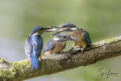 ijsvogel-28333 (Sjors loomans) Tags: ijsvogel geel kingfisher martinpêcheur deurope alcedo atthis eisvogel holland natuur birds bird sjors loomans outdoor natuurfotografie nature