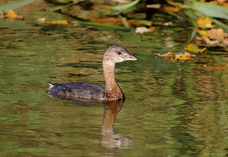 Pied-billed Grebe - 094A0325a1c