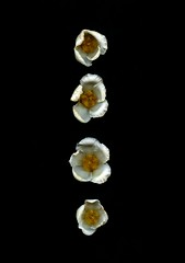 58599.01 Stewartia pseudocamellia (horticultural art) Tags: horticulturalart stewartia stewartiapseudocamellia flowers line