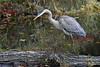 _DSC0598A (Bill Vrtar Photo) Tags: heron blueheron bird wildlife millcreekpark lilypond boardman ohio vrtarsmugmugcom