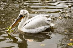 Kroeskoppelikaan - Dalmatian pelican (Den Batter) Tags: nikon d7200 blijdorp dierentuin zoo kroeskoppelikaan dalmatianpelican pelecanuscrispus