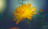 Marigold bloom (Dhina A) Tags: sony a7rii ilce7rm2 a7r2 135mm f28 t45 stf sony135mmf28stf sal135f28 smoothtransitionfocus minolta smooth soft silky bokeh bokehlicious apodization marigold bloom flower plant autumn