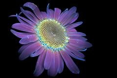 Shasta Daisy 5 s (C. Burrows) Tags: uvivf flower botany nature