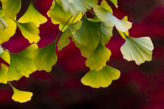 Ginkgo by the Fire (brucetopher) Tags: ginkgo ginko ginkgotree ancienttree ancient healing leaf leaves ginkgoleaf ginkgoleaves livingfossil fossil fern permian pliocene green greenleaf catchy colors tree plant foliage pattern organic outdoor serene peace peaceful yellow red euonymusalatus ginkgobiloba gingko maidenhair fall autumn changingcolor change changeofseason turning turn colorful catchycolors color
