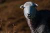 """No Photos!"" (DJNanartist) Tags: nikond750 nikon28300mm lakedistrict anartist grasmere langdale sheep"