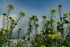 Sinapis arvensis (betadecay2000) Tags: sinapis arvensis sinapisarvensis senf ackersenf wildsenf pflanze gelb yellow plant pflanzen plants flower flowers bloem bloom blooming fleur lüdinghausen acker germany german deutschland deutsch landwirtschaft feld agrar zwischenfrucht feldfrucht natur nature