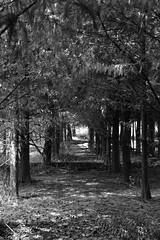 The Secret Forest (superzookeeper) Tags: formosa 5dmk4 5dmkiv canoneos5dmarkiv ef2470mmf28liiusm eos digital taiwan tw wufeng blackandwhite bnw monochrome forest secretforest nature tree