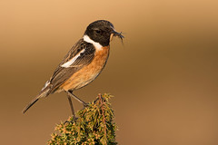 Common Stonechat Saxicola torquatus (janmangorfagerland) Tags: animal birds bird birdphoto birdsgallery bokeh birding birdsofnorway birdswildlifenaturenikon300mmvrii2 black colours coast d800e dephtoffield depth distinguishedbirds 300mmvrii28g exposure evening fagerland field fugler flickr fuglebilder fauna gallery islands nikon wildlife nikkor jan janfagerland juniper mjåvatn karmøy light mangor myr marsh nature norway norge natur outdoor ornithology orange photography photo red supertele songbird saxicola svartstrupe x tree