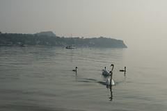 Morgenstimmung (roenz870) Tags: gardasee italien nikon d7100 sigma see lake swan schwan nebel fog landscape landschaft italy lago