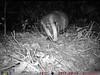 Badger (grekfoto) Tags: animal mammal melesmeles badger tasugo tejon phototrap forest wildlife grekfoto ukraine