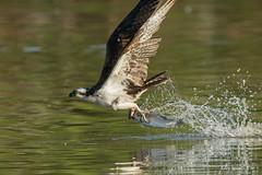 Fine dining.. (Earl Reinink) Tags: bird animal fish water outdoors splash food nature naturephotography earl reinink earlreinink
