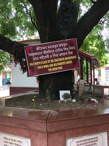 The neem tree where Sri Caitanya Mahaprabhu was born - Yogapith
