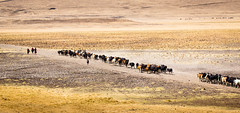 Massai's daily Cattle Drive (Beppe Rijs) Tags: africa afrika landschaft massai serengeti tansania tanzania landscape cattle drive ngorongoro crater np nationalpark trail dust hot sun cultivate ancientcustoms tribe people animal person field sand