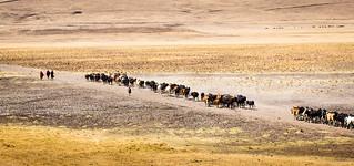 Massai's daily Cattle Drive