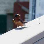 Barn Swallow? thumbnail
