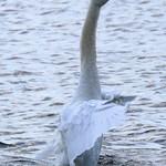 White Swan - Argyle Lake, NY thumbnail