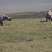 2 black rhino and cattle egret. Ngorongoro