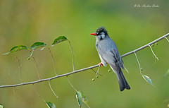 The Explorer... (Anirban Sinha 80) Tags: nikon d610 fx 500mm f4 ed vrii n g bird bokeh composition beak