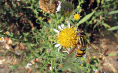 Helophilus on Pacific aster (TJ Gehling) Tags: insect diptera fly syrphidae hoverfly helophilius plant flower asterales asteraceae aster pacificaster symphyotrichum symphyotrichumchilense asterchilense canyontrailpark elcerrito helophilus