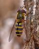 Syrphus Fly (milesizz) Tags: diptera milwaukee wisconsin wi aschiza syrphidae syrphidflies eristalinae syrphinae syrphini syrphustorvus