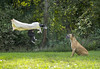 Week 41 Levitation (BMasterP) Tags: edit friends superhero cape levitation pet dogs superdog hero