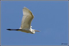 Aigrette vol 171009-04-P (paul.vetter) Tags: oiseau ornithologie ornithology faune animal bird échassier grandeaigrette aigrette ardeaalba greategret silberreiher casmerodiusalbus garçabrancagrande