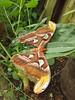 Atlasspinner im Schmetterlingshaus (Steffen und Christina) Tags: atlasspinner attacus attacusatlas schmetterling schmetterlingshaus luisenpark mannheim stadtpark butterfly