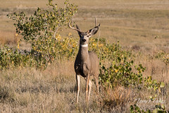 Mule Deer buck paying close attention