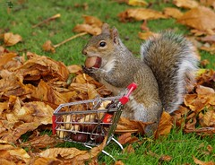grey squirrel  with shopping trolley cart  in park autumnleafs on grass . (1) (Simon Dell Photography) Tags: sheffield botanical gardens city park 2017 simon dell photography pan statue wood spirit god woods grey squirrel cute awesome funny countryfile springwatch autumn fall leafs uk england october weatjher seasonal with shopping cart trolley micro toy model coke bottle coca cola knuts conkers photo pic