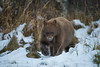 black bear in snow (Jeff Bernhard) Tags: d810 jacksonhole wyoming bear blackbear tetons grandtetonnationalpark tetonnationalpark wildlife