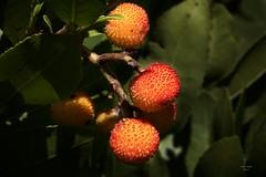 Medronho (Fruit of Strawberry tree) (Carlos Santos - Alapraia) Tags: fruitofstrawberrytree medronho fruto fruit ourplanet canon nature natureza wonderfulworld unlimitedphotos fantasticnature