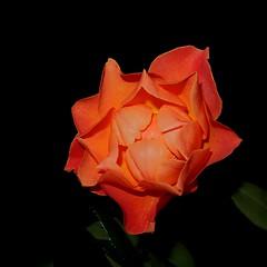 Rose der Nacht (eagle1effi) Tags: canon powershot g7 x mark ii canonpowershotg7xmarkii orangecolor rose september blumen makro g7xii g7xiimacro paradise flowers steiner tannenweg parkanlage flower flora blume closer macro canong7xii markii bestof photos pointandshoot