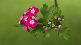 Red Hawthorn