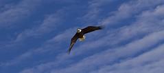 SOAR LIKE AN EAGLE! (showmesavings) Tags: eagle bluesky whiteclouds