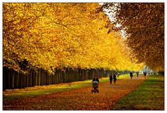 Goldener Herbst – golden autumn (frodul) Tags: baum herbst natur laubfärbung gelb jahreszeit blatt laub gegenlicht georgengarten hannover herrenhausen wetter sonnenschein landschaft allee linde lindenallee herrenhäuserallee niedersachsen deutschland