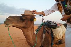 Camel Fashion (dr.snitch) Tags: merzouga ergchebbi morocco sanddunes sahara camel hat fashion