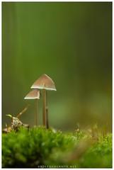 (KirstenDeLaet) Tags: paddenstoel mushroom pilze herfst autumn herbst oktober october light macro pentax k3 da3004 statief tripod stativ hoekzoeker seagull liveview sirui n3004x k30x puurs belguim bos wald forest