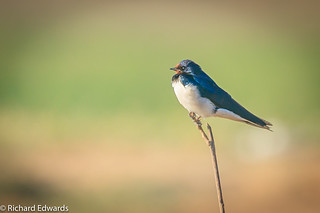 Pacific Swallow - *Explore