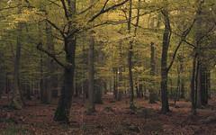 An Autumn Walk (Netsrak) Tags: eifel baum bäume wald herbst oktober natur landschaft blatt blätter