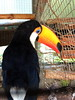 Tukan (markb120) Tags: bird fowl flyer flier plumage feathering feather coverts coat dress beak bill pecker rostrum neb nib hhead eye animal fauna
